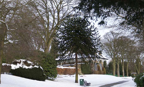 1401 - Main - 4 Monkey Puzzle Tree in the Snow - Jane Mellor